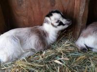 I have three adorable Mini Lamancha kids available.