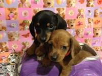 We have a couple of adorable healthy mini dachshund