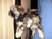 we have two beautiful mini schnauzer yorkie mixed pups