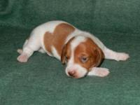 This is a mini Smooth Red Piebald AKC Male Dachshund,