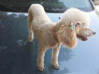 Paris is a beautiful female pure bread french poodle,
