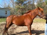 Beautiful 8 year old Morgan Gelding in need of new