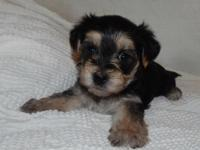 Male Morkies available with beautiful color. Home