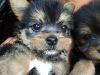 Three black & tan and 1 cream morkies are ready for new