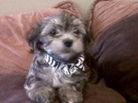 I have a Morkies puppy that is more adorable than ever.