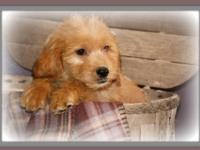 Labradoodles are ready for their new homes. Super cute