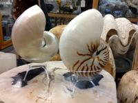 Beautiful Nautilus Shells for Your Decor Pictured Here:
