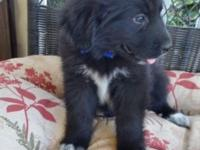 Beautiful Newfoundland/ Great Pyrenees puppies
