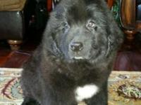 Big Beautiful litter of 8 Newfoundland young puppies