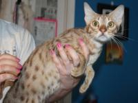 I have 2 lovely ocicat adults to rehome. Charisma is a