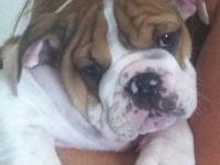 i have a very beautiful male old english bulldog for