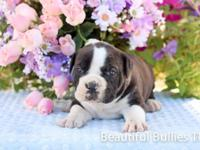 Beautiful Old English Bulldog puppies. Home enjoyed and