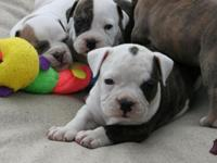 We have a beautiful litter of Olde English Bulldogs