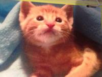 We have an 8 week old male tabby searching for a great