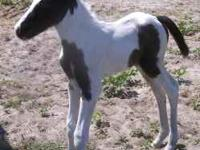 This filly is beautiful! Loud colored. Sire is 15.3