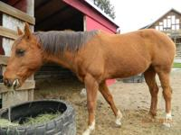 7 year old gelding Paint 'No Paint' for sale. He's