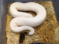 I am looking for a good home for my albino and piebald