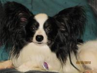 Papillon Male Puppy. 6 months old, tri color. Very very