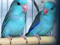 Beautiful Baby Pacific Parrotlets - Known as the