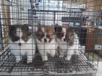 Ckc registered parti poms for sale!! $675 each 1 female
