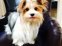 Absolutely stunning parti-yorkie looking for a new