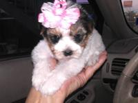 I have gorgeous male and female parti yorkie puppies