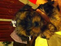 I have3 beautiful Partie Yorkies left, 2 females and