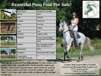 Registered Paso Fino gelding, 11 years young, well