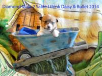 I have 2 beautiful male PB Pembroke Welch Corgi puppies