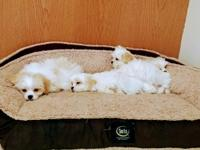We have 1 Male & 3 Female Peke/Bichon Puppies available