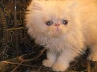Our 2 golden-eyed gals are sugar sweet. A Tabby Persian