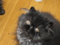 Pure Persian black male kitten he's very sweet and