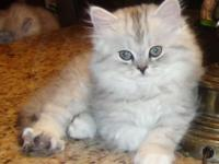 Beautiful doll faced chinchilla kitten. Very fluffy and