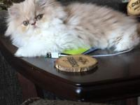 Beautiful cream/white female Persian kitten. 11 weeks