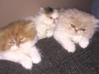 Beautiful Persian Kittens, 8 weeks old. All females.