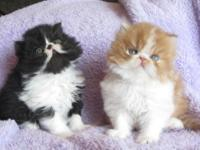 I have 2 beautiful Persian Kittens. They are 5 weeks
