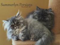 I have 4 adorable, 12 week old, playful, Persian