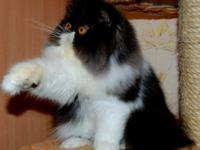 PERSIAN KITTENS FOR SALE BEAUTIFUL ALL COLORES TAKING
