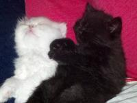 2 ADORABLE PERSIAN KITTENS FOR SALE. BLACK SHORT HAIR