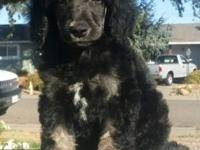 Beautiful standard poodle, 8 weeks old, solids