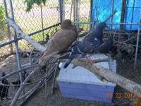 I have several young pigeons for sale. Some are pure