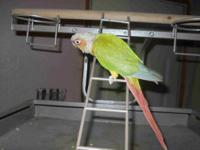 I have a gorgeous Parrot named Rouge she is about 3 1/2