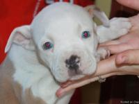we have 5 beautiful full blood pit bull puppies born on