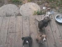 I have 4 pitbull puppies looking for permanently homes.