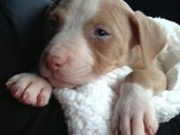 Beautiful female Pitbull puppy, last one left from a