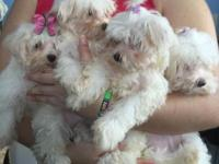 I have 4 beautiful maltess puppies for sale.. 2 boys