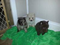 I have 3 beautiful male pom pups born 5/31/2013 they