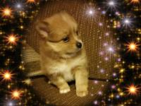 I have a litter of merle pomchi's pomeranian /chihuahua