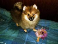 I have two beautiful female Pomeranian puppies for