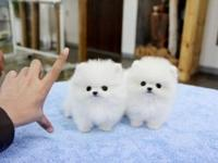 Beautiful male and female Pomeranian Puppies looking